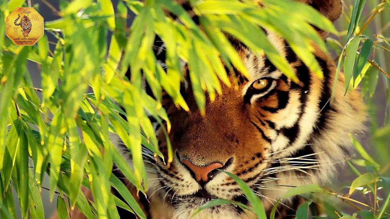 месяц Металлического Тигра