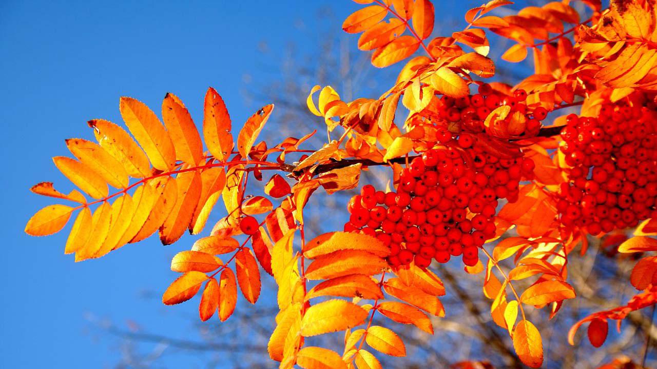 Рябина-волшебное дерево