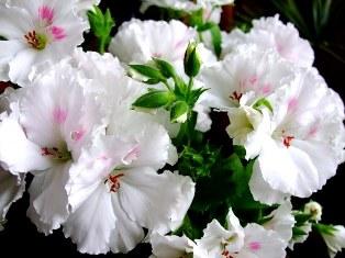 Растения апреля: герань