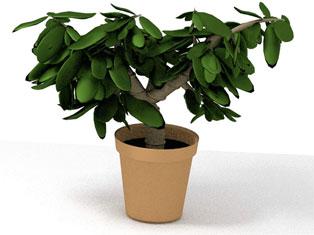 Растения апреля: толстянка